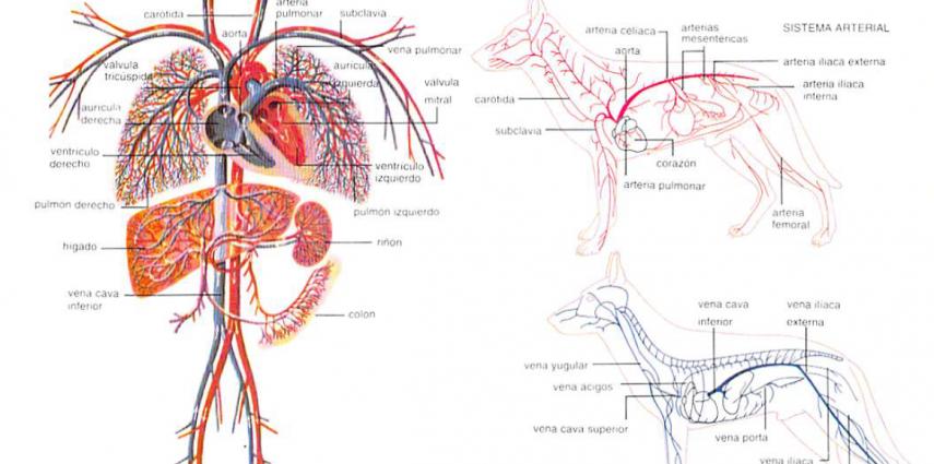 anatomia Archives - Los Perros